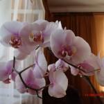 Рожищенська цветовод рассказала, как правильно ухаживать за орхидеями