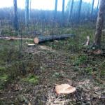 Злоумышленники с Волыни нарубили леса на 20 тысяч