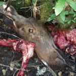 Волынские полицейские поймали браконьеров, убивших лося в национальном парке