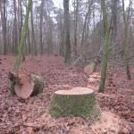 Злоумышленники срезали столетние дубы заказника «Лесная аллея»