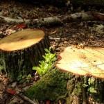 На Волыни леса уничтожают сами лесники